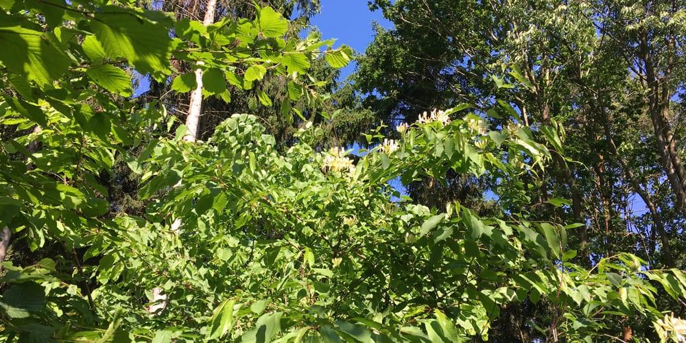 Honeysuckle growing in the wood